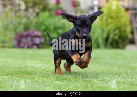 Doberman Pinscher Puppy - Stock Photo