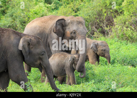 A group of elephants during a safari tour in Sri Lanka, with the young elephant being protected by its mother - Stock Photo