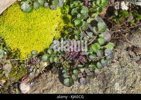 Overwintering stunted hairy bittercress, Cardamine hirsuta, plant rosette among stones and moss in a garden rockery, - Stock Photo