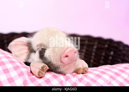 Domestic Pig, Turopolje x ?. Piglet sleeping on pink-checkered pillow in a basket. Studio picture seen against a - Stock Photo