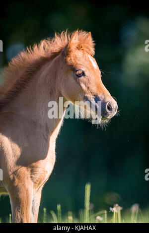 German Riding Pony. Portrait of chestnut filly-foal. Germany - Stock Photo