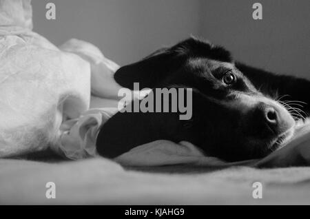 Black and white picture with border collie looking at camera - Stock Photo