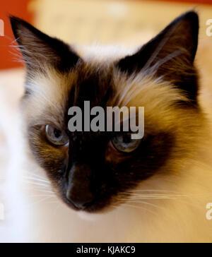 ragdoll cat close-up canterbury kent november 2017 - Stock Photo