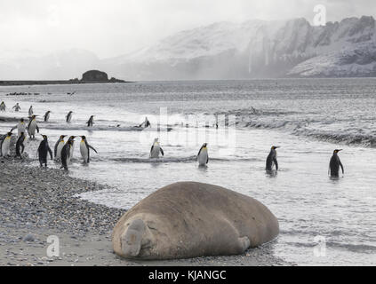 Sleeping male elephant seal and king penguins, Salisbury Plain, South Georgia Island - Stock Photo