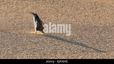 Gentoo penguin out for an early morning stroll, Saunders Island, Falkland Islands - Stock Photo