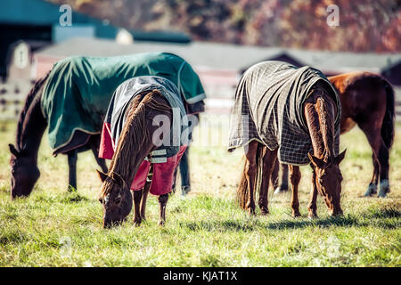 Four horses, covered for cold weather, in a Virginia field grazing in the morning sun. - Stock Photo