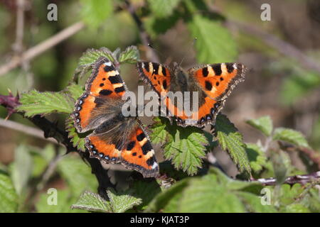 Two Small Tortoiseshel Butterflies on Bramble leaves, with their wings open, the latin name is Aglais urticae - Stock Photo