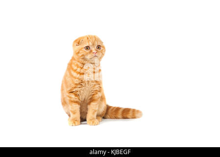 Scottish Fold small baby cat of red color with short hair in stripe with small ears and big full-length eyes on - Stock Photo