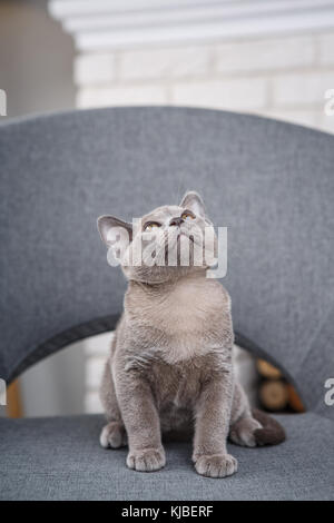 grey kitten Burmese sitting on a gray fabric chair in the interior against the white brick walls and fireplace - Stock Photo
