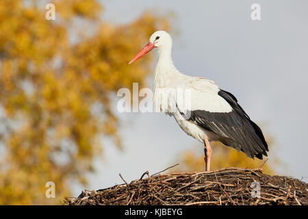 One stork on a nest;  in the background blurred trees with yellow leaves - Stock Photo