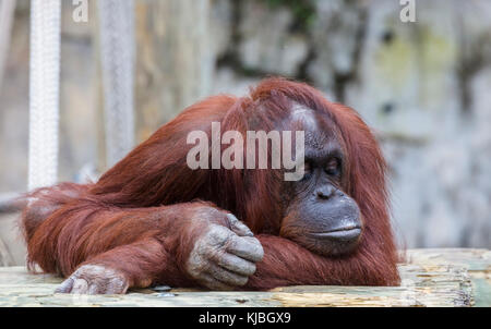 Bornean Orang-utan at the Lowry Park Zoo in Tampa Florida UNited States - Stock Photo