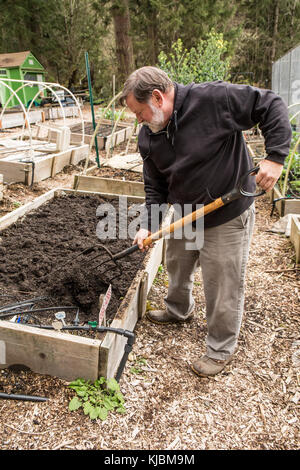 Man using a garden fork to lightly mix in a layer of compost into the soil in a community garden in Isssaquah, Washington, - Stock Photo