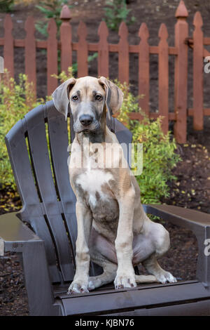 Great Dane puppy 'Evie' sitting on a wooden patio chair in Issaquah, Washington, USA - Stock Photo