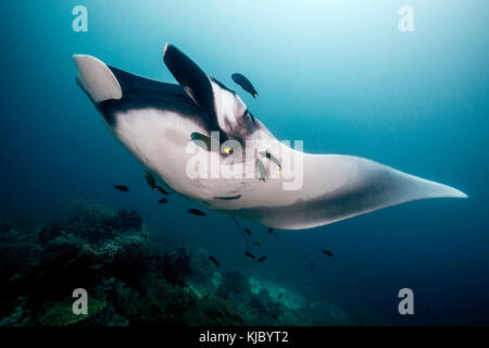 Giant Manta Ray Swimming Towards Camera with Sunburst in Background - Stock Photo