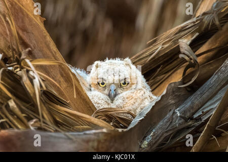 Great Horned Owl nestling in the Thousand Palms Oasis Preserve, Coachella Valley, Riverside County, California - Stock Photo