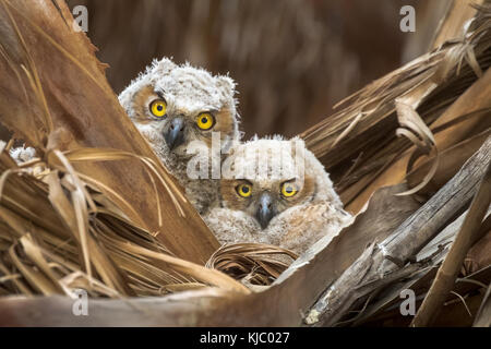 Great Horned Owl nestlings in the Thousand Palms Oasis Preserve, Coachella Valley, Riverside County, California. - Stock Photo