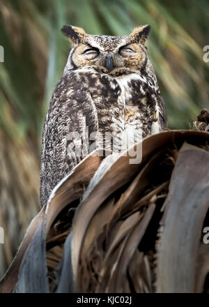 Great Horned Owl in palm tree, Coachella Valley Preserve, Riverside County, California - Stock Photo
