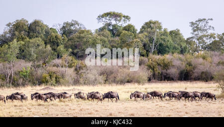 Kenyan landscape view & wildlife: Herd of migrating blue wildebeest (Connochaetes taurinus) viewed during the Great - Stock Photo