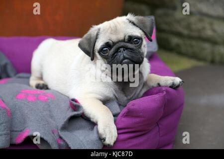 Pug Carlin Mops - Stock Photo
