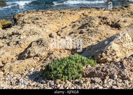 Rock samphire, Crithmum maritimum, on a rocky beach in Santa Pola, Alicante, Spain. It is a coastal plant in the - Stock Photo