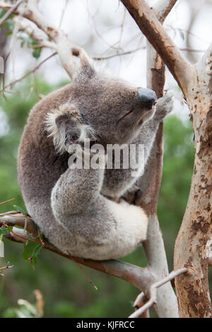 A koala bear photographed sitting in a tree along the great ocean road in Victoria, Australia. The koala is an Australian - Stock Photo