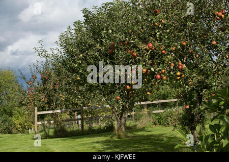 Mature trees in a domestic garden apple orchard with ripe red fruit of cos orange pippin anf other trees in fulkl - Stock Photo