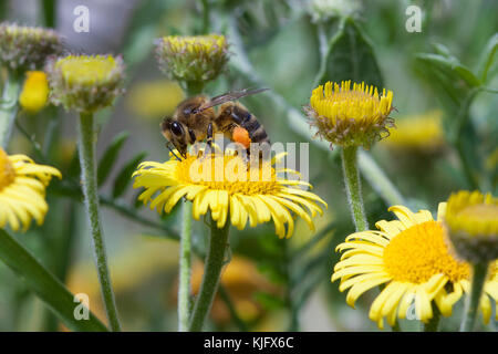 Western Honey Bee on Common Fleabane, UK. Summertime - Stock Photo