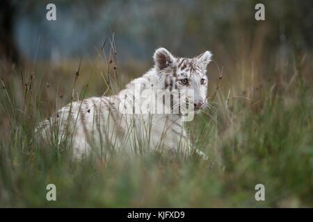 Royal Bengal Tiger ( Panthera tigris ), white animal, strolling through high grassland, side view in typical surrounding, low point of view.