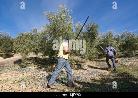 Two male workers knocking down olives from trees with a stick and an olive shaker machine during olive harvest in - Stock Photo
