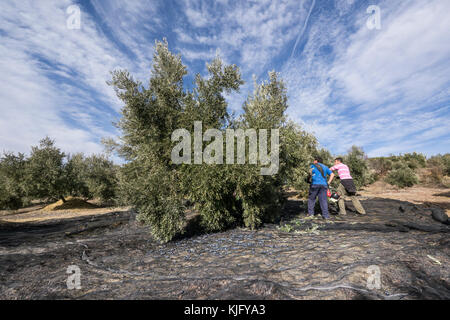 Men workers knocking down olives from trees with a stick and an olive shaker machine during olive harvest in Jaén - Stock Photo