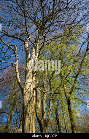 Looking up into the branches of mature Beech trees in spring sunshine against a clear blue sky. - Stock Photo
