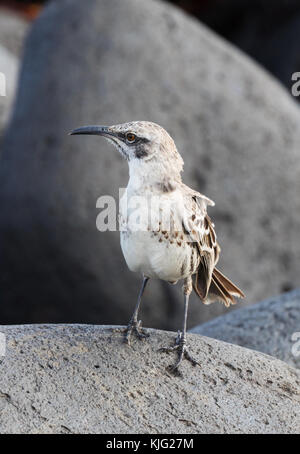 The Espanola Mockingbird, or Hood Mockingbird, ( Mimus macdonaldi ), Punta Suarez, Espanola Island, Galapagos Islands - Stock Photo