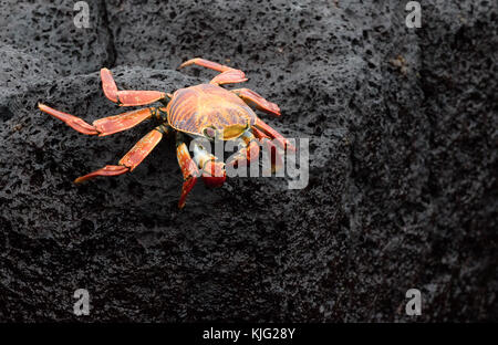 Sally Lightfoot crab, ( Grapsus grapsus  ), also known as Red rock crab or  Abuete negro,  Floreana Island, Galapagos - Stock Photo