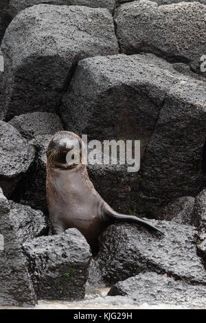Young Galapagos Sea Lion pup ( Zalophus wollebaeki ), Floreana Island, Galapagos Islands, Ecuador, South America - Stock Photo