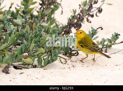 Yellow Warbler ( Setophaga petechia ), adult male, Floreana island, Galapagos - Stock Photo