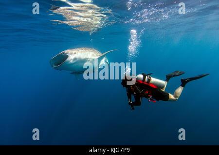 Indonesia, Papua, Cenderawasih Bay, diver watching Whale shark - Stock Photo