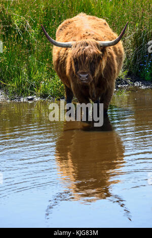 Long-haired highland cattle cooling off in wetlands at RSPB Van Farm Nature Reserve on Loch Leven, Perth and Kinross, - Stock Photo