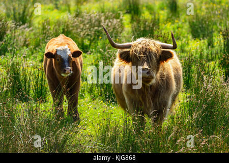Highland cow with calf approaching water's edge at RSPB Van Farm Nature Reserve on Loch Leven, Perth and Kinross, - Stock Photo
