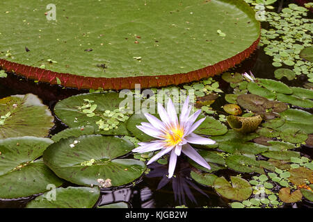 blooming pink water lily with lily pads and leaves in garden pond - Stock Photo