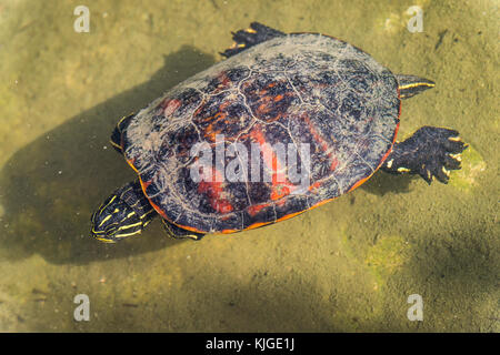 Pseudemys Nelsoni, Florida Redbelly Turtle Etats-Unis  Carnoules Var France - Stock Photo