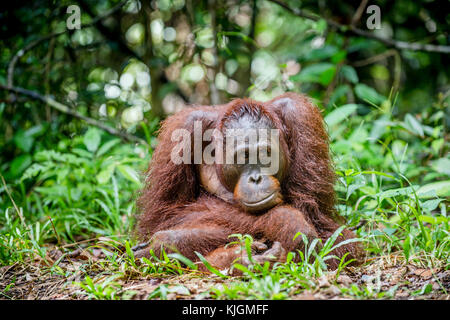 Bornean orangutan in the wild nature. Central Bornean orangutan ( Pongo pygmaeus wurmbii )  in natural habitat. - Stock Photo