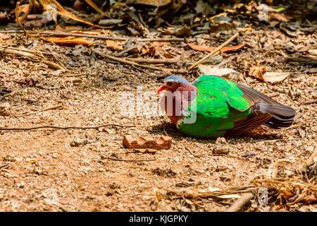 Common emerald dove or Chalcophaps indica - Stock Photo