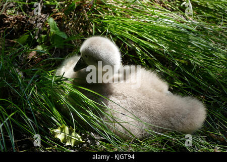 Signet a young swan nesting on a river bank in Devon U.K. June 2017. - Stock Photo