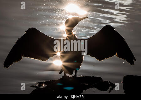 London, UK. 25th Nov, 2017. UK Weather: A Cormorant bird dries its wings in the morning winter sun on Canada Water - Stock Photo