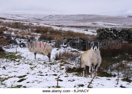 B6276 Middleton-in-Teesdale to Brough Road, Co Durham, UK. 25th Nov, 2017. On Wemmergill Moor the colourful sheep - Stock Photo