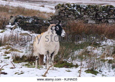 B6276 Middleton-in-Teesdale to Brough Road, Co Durham, UK. 25th Nov, 2017. On Wemmergill Moor a colourful sheep - Stock Photo