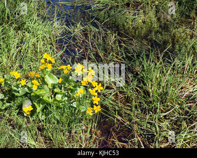Small owergrown ditch with kingcups growing near water - Stock Photo