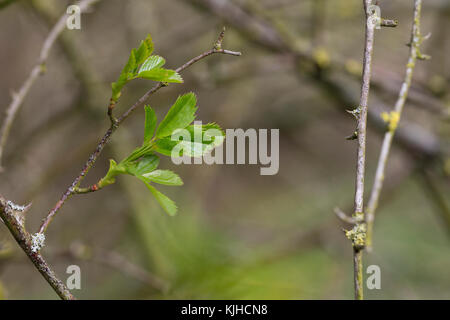 Hunds-Rose, Hundsrose, Heckenrose, Wildrose, junge Blätter, Blatt, Blattaustrieb, Rose, Rosa canina, Common Briar, - Stock Photo