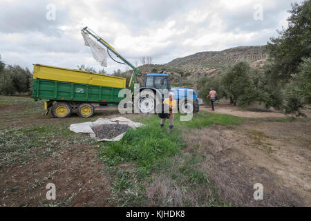 Fuensanta, Jaén / Spain - February 2017: Young woman carrying olives in a basket during olive harvest in Jaén province, - Stock Photo