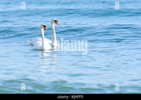 Two swan on turquoise water - Stock Photo